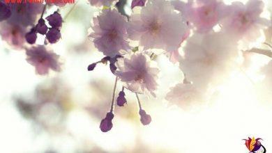 تصویر از بهار … و این همه دلتنگی ! نه شاید فرشته ای فصلها را به اشتباه ورق زده باشد