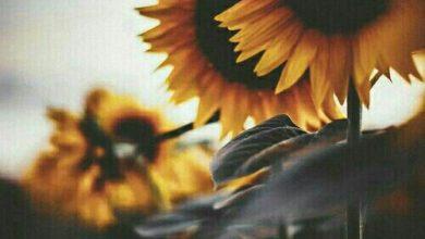 تصویر از آفتاب گردان
