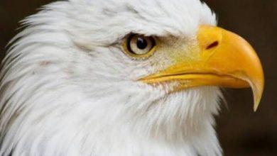 تصویر از عمر عقاب چهل سال است…!